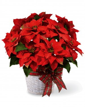 Happiest Holidays Poinsettia