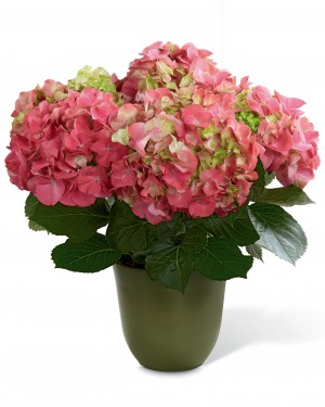 The Pink Hydrangea Planter