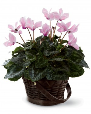 The Pink Cyclamen