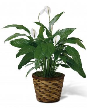 The Spathiphyllum