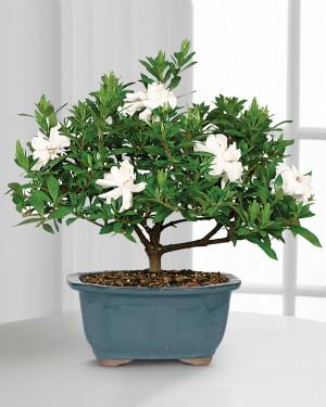 Blossoming Abundance Gardenia Bonsai - 6 inch