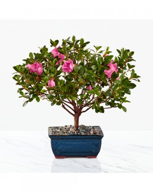 Blooming Azalea Bonsai - 10 inches