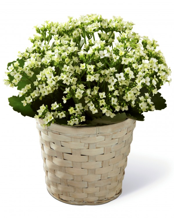 Order Kalanchoe Plant Sympathy Today Flower Delivery